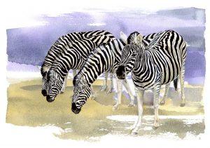 Chapman's Zebras – Landscape Blank Card