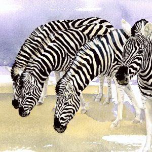 Chapman's Zebras - Square Blank Card
