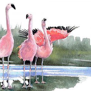 Chilean Flamingos - Square Blank Card