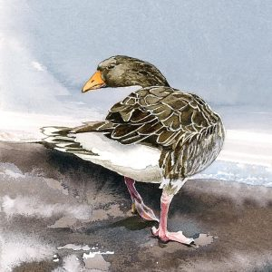 Greylag Geese - Square Blank Card