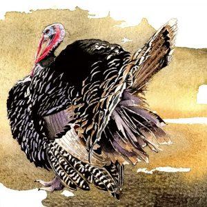 Turkey & Hen - Square Blank Card