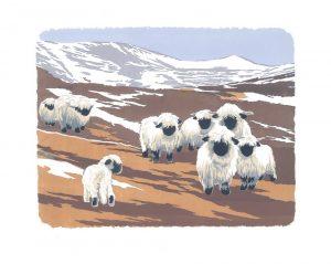 Valais Black-nosed Sheep - Studio Print