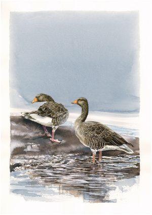 Greylag Geese - Original Watercolour